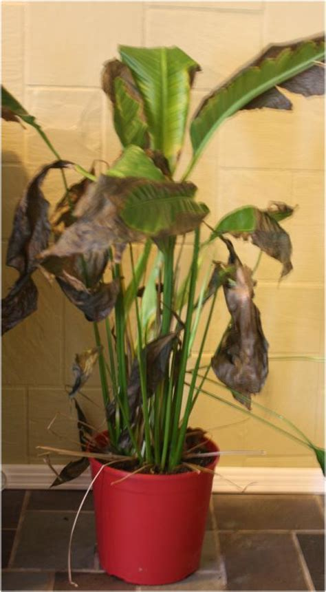 indoor plant dying image gallery indoor plants dying