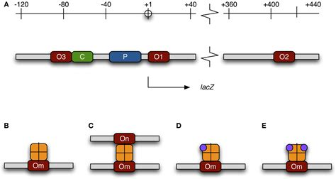 r protein operon frontiers bistable behavior of the lac operon in e