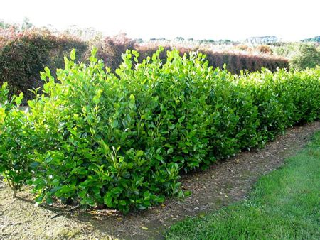 abete nano da giardino piante da siepe la griselinia littoralis pollicegreen