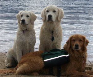 golden retriever skin cancer skin cancer in golden retrievers pictures to pin on pinsdaddy