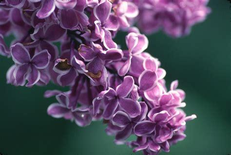purple lilacs myplantscrapbook lilacs