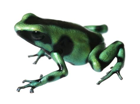 green wallpaper poison green and black poison dart frog 58 desktop background