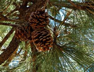 pine cone tree my 2013 calendar pick for december pine cones up the pine tree milka pejovic