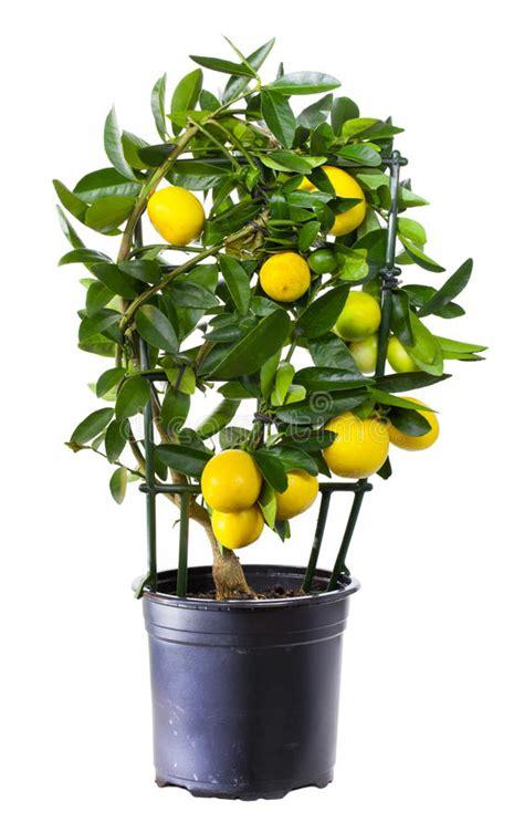 piante di limoni in vaso prezzi pianta limone in vaso da fiori immagine stock