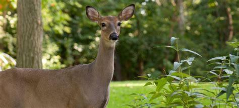 kitchen collection store standorte garden deer deer resistant gardening learn how to