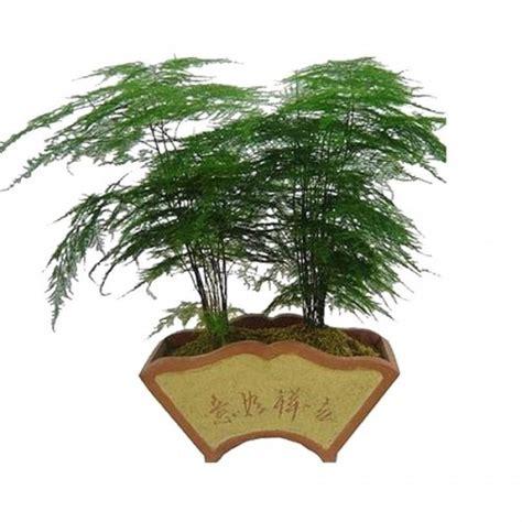 Tanaman Asparagus Hijau jual tanaman asparagus plumosus hp 085608566034