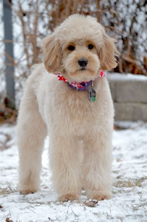 aussiedoodle haircuts goldendoodle haircut pics for goldendoodle haircuts