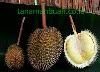 Bibit Durian Bawor Tangerang cara mencangkok pohon durian pusat bibit tanaman