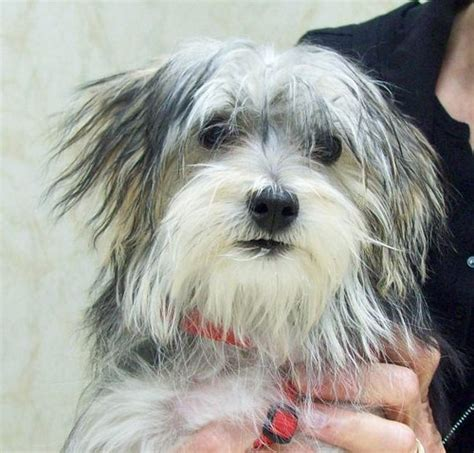 maltese and a yorkie mix maltese yorkie mix image search results