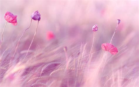 wallpaper pink full hd flower flowers pink the field ears wheat rye purple