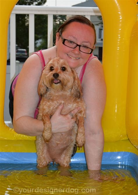 my yorkie keeps shaking is it a house is it a pool it s both yourdesignerdog