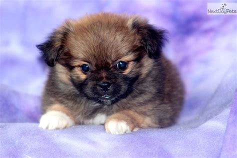 peekapom puppies peek a pom puppy for sale near lancaster pennsylvania 914368a3 ab91