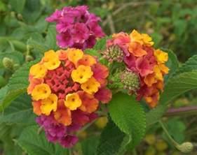 lantana colors file lantana camara flowers 2 jpg