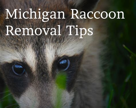 how to get rid of a raccoon in your backyard get rid of