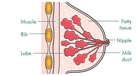 diagram of the breast normal breast structure