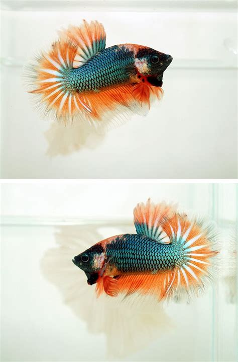 orange koi dragon with blue 141 best images about betta fish on copper