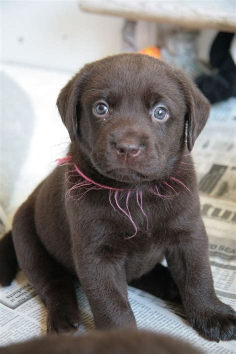 chocolate lab puppies ta 17 best ideas about chocolate lab puppies on