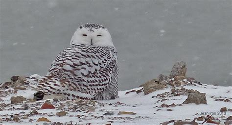 snowy owls in toronto