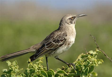 10 000 birds what is a mockingbird