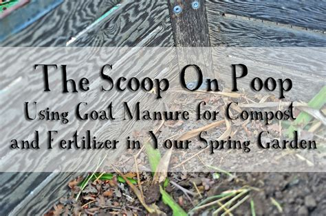 Vegetable Beds The Scoop On Goat Using Goat Manure For Compost And