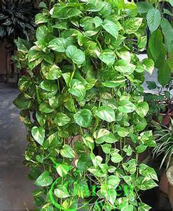 pothos silver vine money plant epipremnum aureum