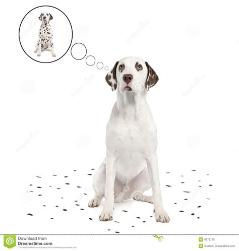 Dalmatian Shedding by Dalmatian Shedding Its Spots Stock Photo Image 9772710