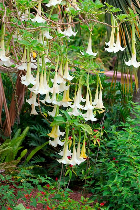 angel trumpet plants how to prune trumpet
