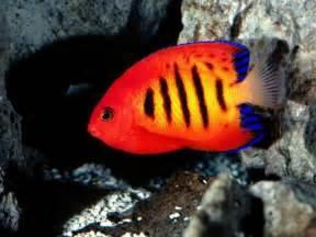 colorful tropical fish colorful tropical fishes funmag org