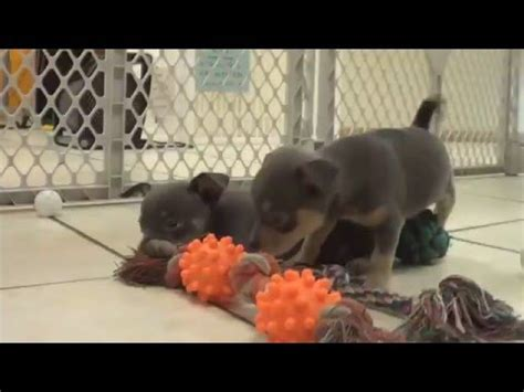 puppies for sale in staten island chihuahua puppies for sale in staten island new york ny county