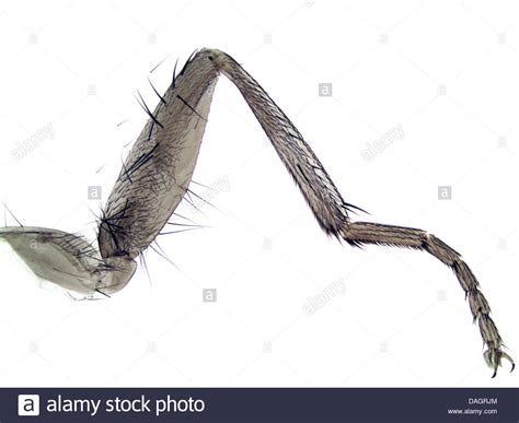 house leg house fly musca domestica leg of a house fly 40 x germany stock photo royalty