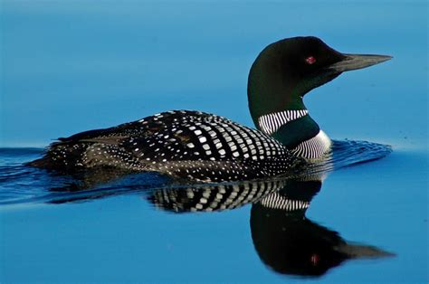 printable pictures of loons loonthe plural of loon is