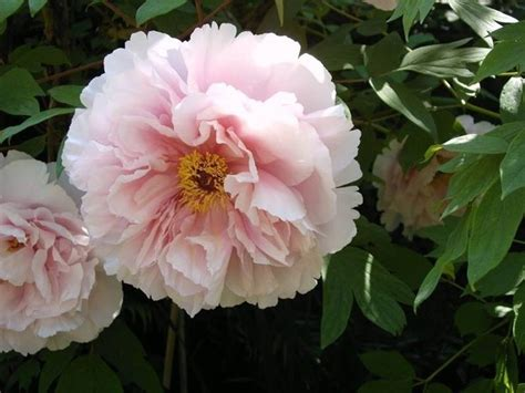 fiori di peonia bouquet peonie peonia bouquet peonie giardino