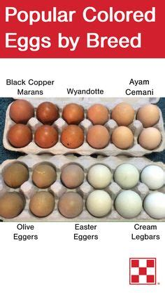 5 reasons why olive comes in different colors blue egg ameraucana brown eggs black copper marans olive eggs olive eggers a cross between