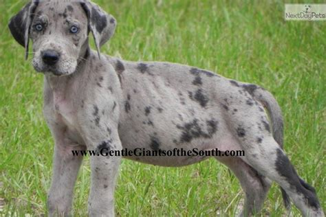 merle great dane puppies for sale great dane puppy for sale near atlanta a7b40bcb 3481