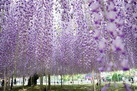 wisteria meaning wisteria flower google search wisteria flower