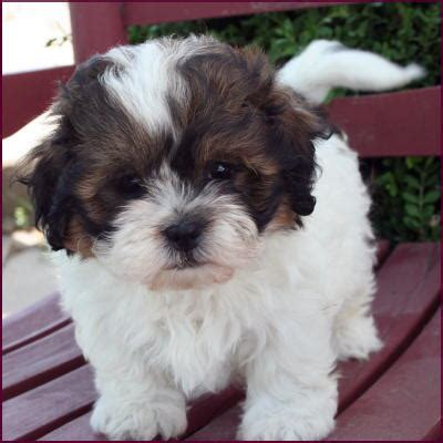 do shichons change color shichon puppy 4 sale cross mixed breed puppies