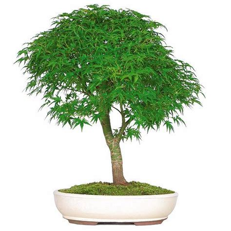bonsai with japanese maples 0881928097 japanese maple bonsai tree for sale