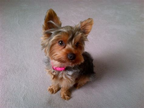 wanted yorkie puppy terrier wanted cirencester gloucestershire pets4homes