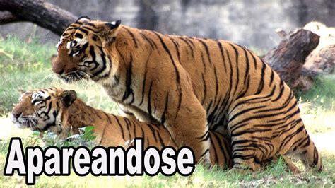 imagenes de leones apariandose tigres apareandose youtube