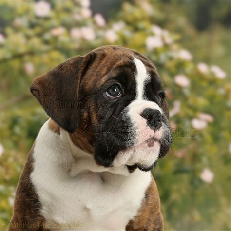 8 week boxer puppy boxer puppy 8 weeks photo wp38031