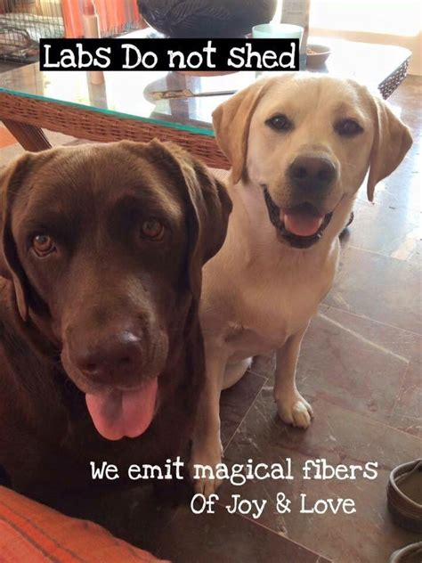 Do Golden Labs Shed by 25 Best Labrador Quotes On Pet Quotes