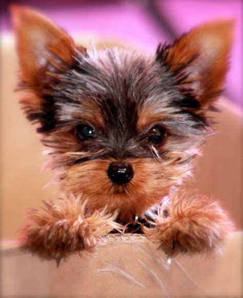 why is my yorkie so big 25 best ideas about on cachorro boo brinquedo pomeraniano