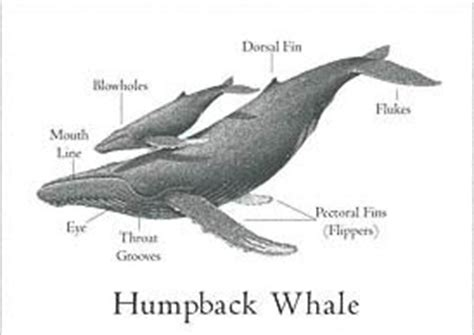 diagram of a humpback whale image gallery humpback whale anatomy