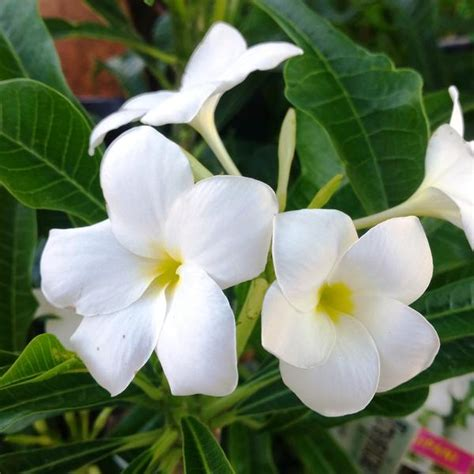 plumeria pudica white mybageecha