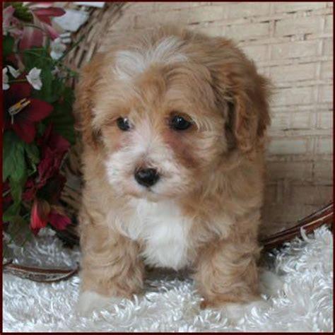 multi poodle lifespan best 20 maltese poodle ideas on maltese