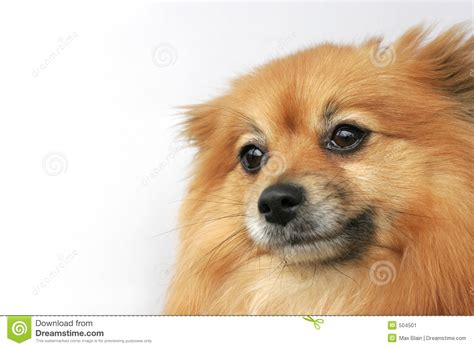 show me a picture of a pomeranian pomeranian stock image image 504501