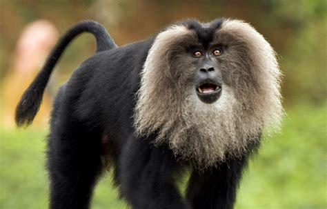 File:Lion-tailed macaque by N A Nazeer.jpg - Wikimedia Commons