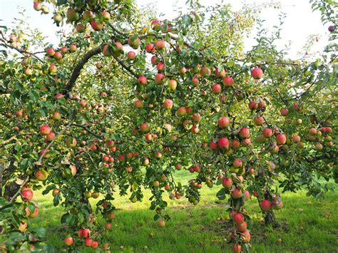apple tree planting nurturing and picking the best apples for apple