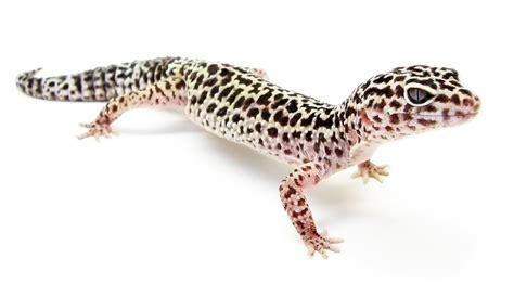 leopard gecko heat l gecko l 233 opard wikip 233 dia