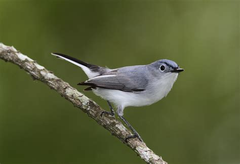 bill hubick photography blue gray gnatcatcher